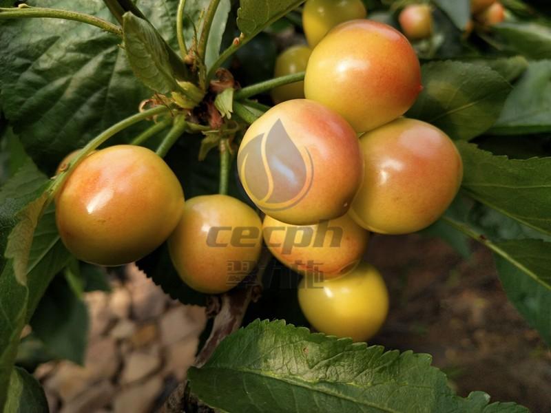 樱桃施什么肥最大最甜?用它不会错!