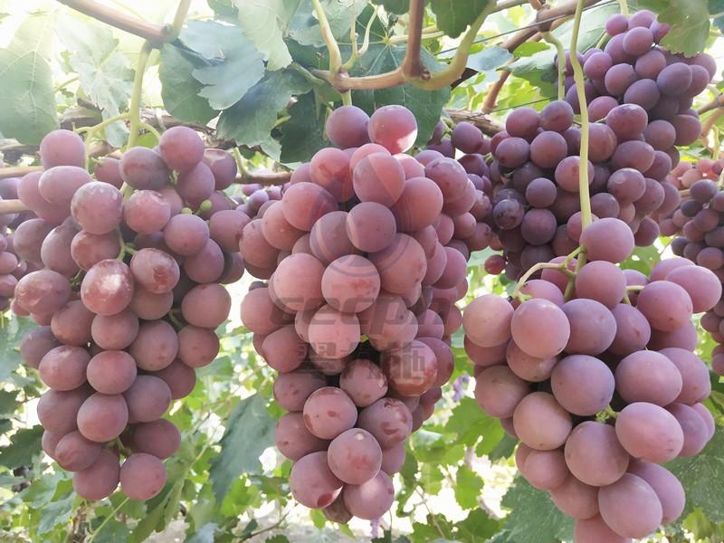 钙肥-以翠葡萄