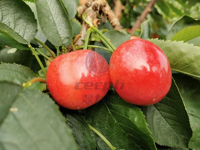 大樱桃用肥-以翠