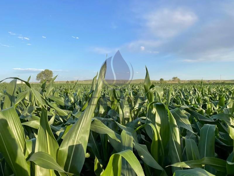 玉米打什么叶面肥增产?张大哥说用以翠