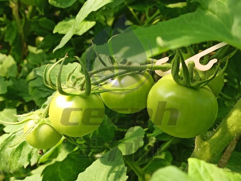 水印-以翠番茄