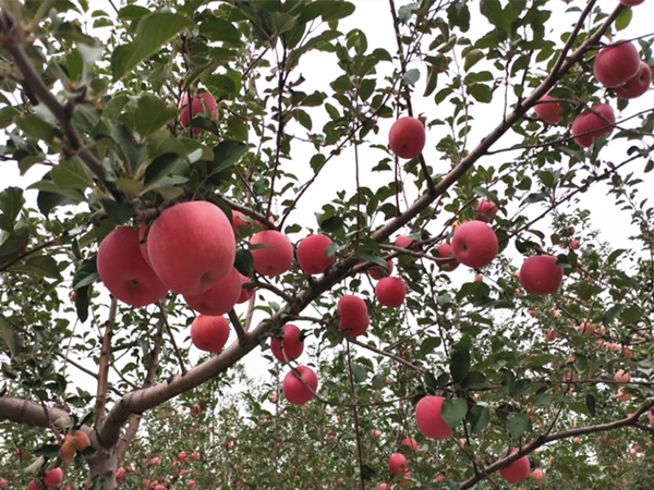 苹果水溶肥有多棒?翠力施事实胜于雄辩!