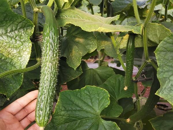 种黄瓜什么肥料好?孟大哥首选以翠