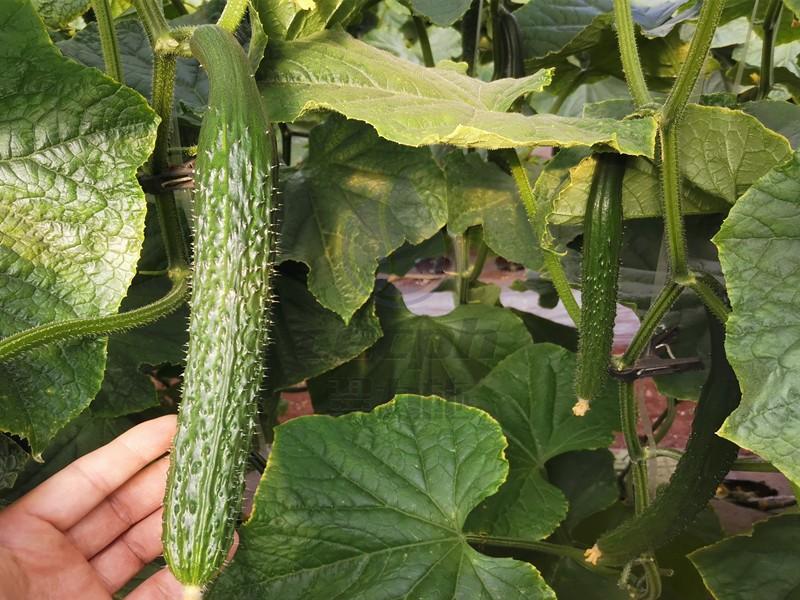种黄瓜用什么水溶肥-以翠