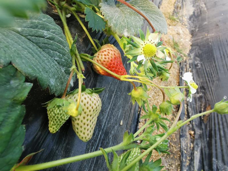 磷酸二氢钾-以翠草莓