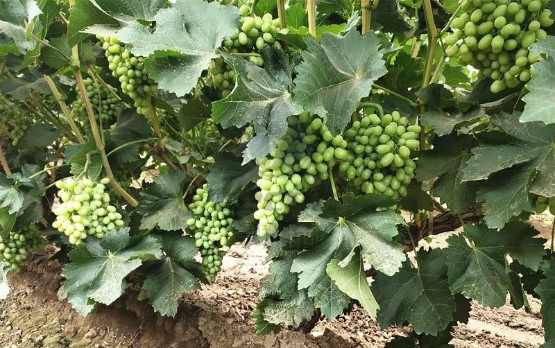 葡萄水溶肥-以翠