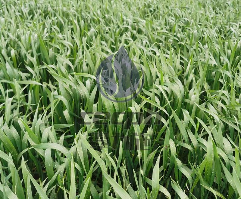 磷酸二氢钾-新疆小麦