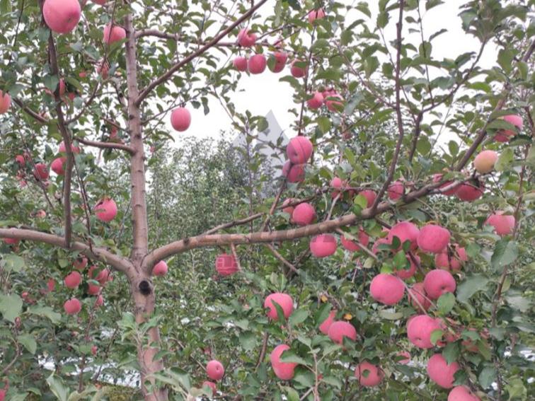 苹果水溶肥怎么样?使用效果好吗?