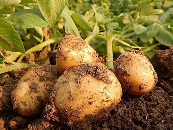 土豆用什么肥好?来看以翠的全程施肥方案