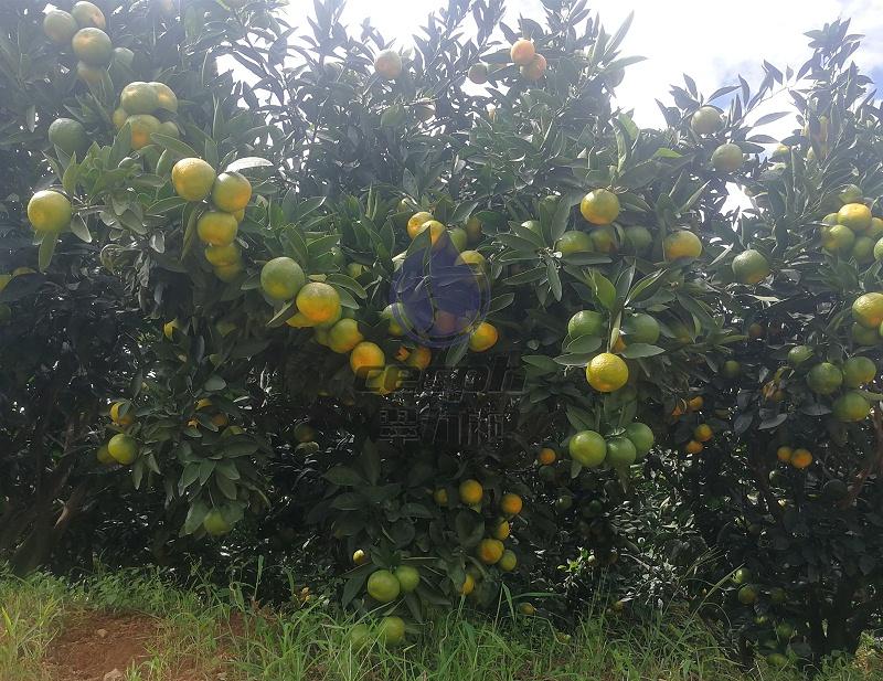 柑橘秋梢怎么管理-以翠