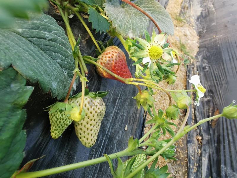 草莓水溶肥-以翠