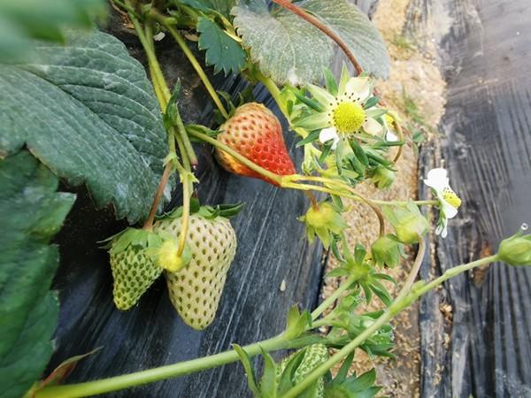 草莓水溶肥如何挑选?这几点能帮你!