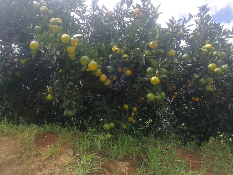 磷酸二氢钾-柑橘