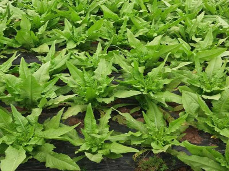 油麦菜如何施肥?90%种植户都是这样用的
