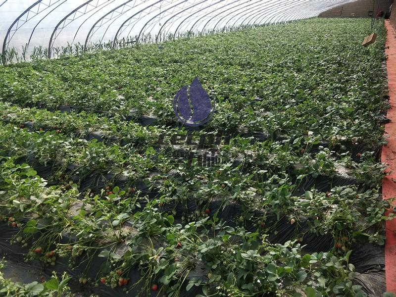 秋季草莓种植时间和方法