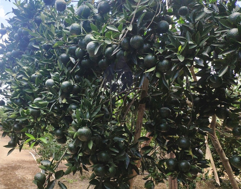 柑橘管理-以翠