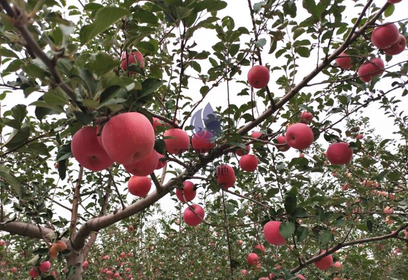 果树用什么肥料好-以翠苹果