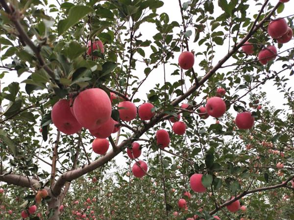 果树用什么肥料好?这篇文章一定要看