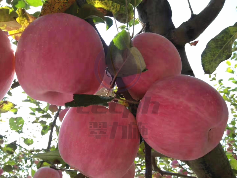 果实裂果-以翠苹果