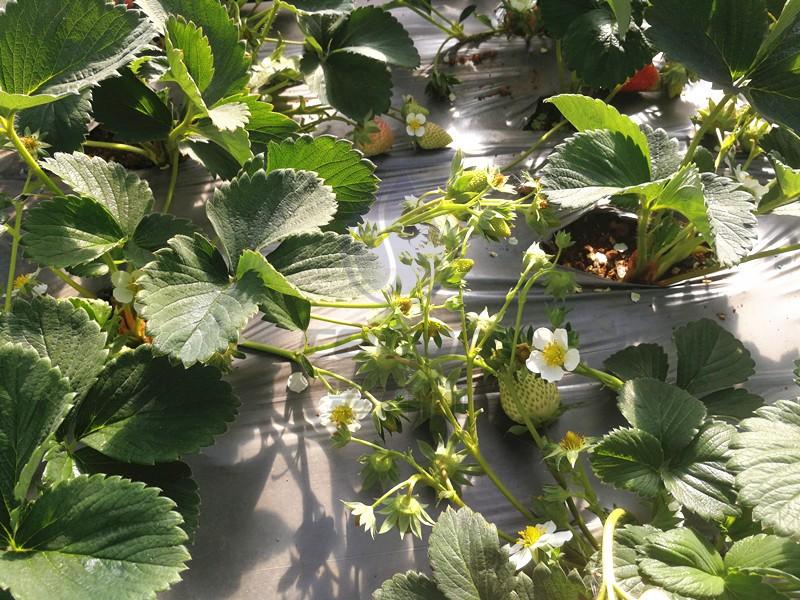 翠力施水溶肥-草莓