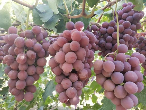 葡萄管理技术?春季更关键