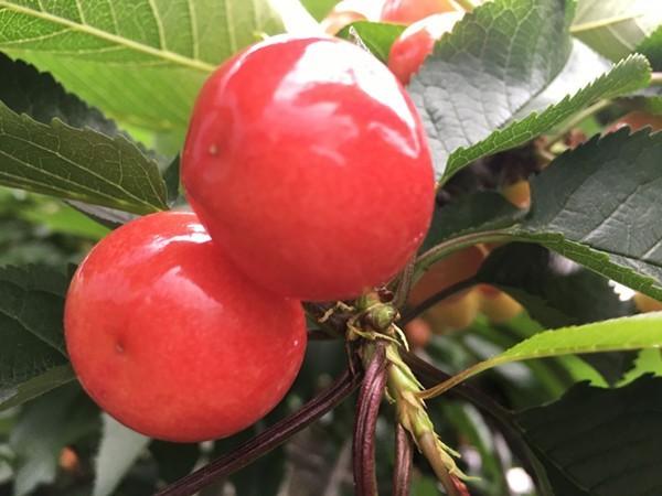 大樱桃专用肥让你成为下一个种植大户!