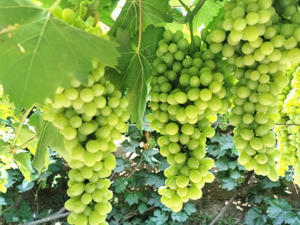 葡萄用什么肥料长得快?翠力施说这几点很关键
