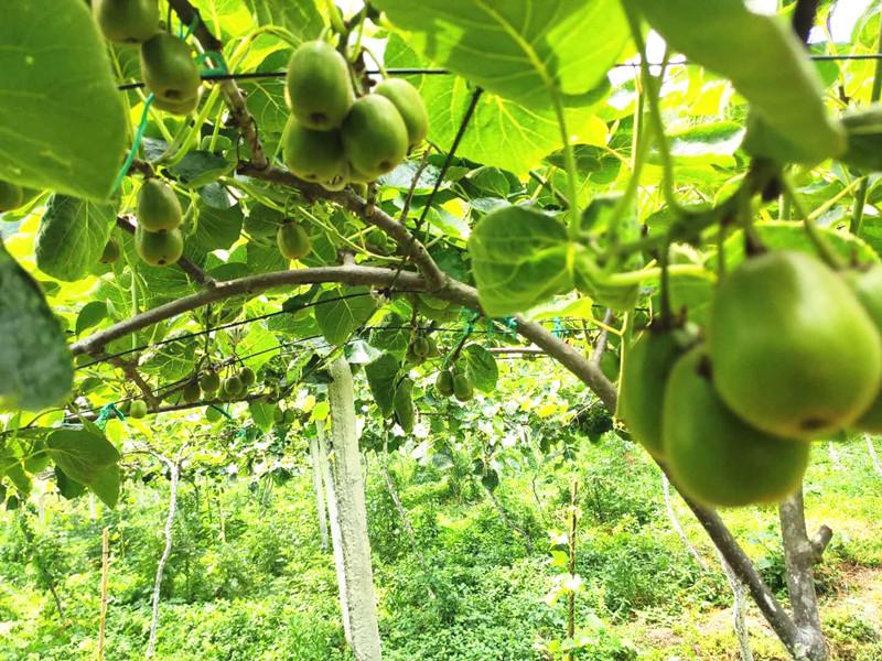 果树春季施什么肥-以翠