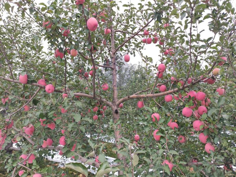 开春施肥-以翠苹果