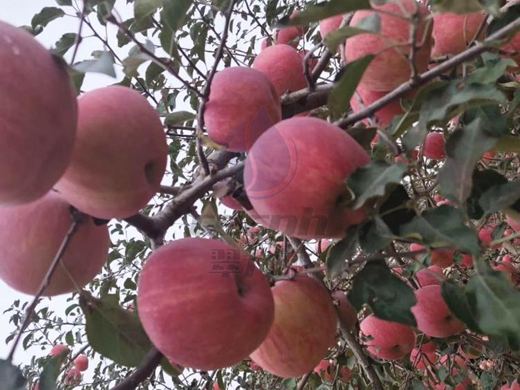 苹果水溶肥有用吗?怎么用效果好?