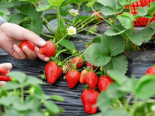 草莓应该如何合理的施肥?看看沈阳的这位张大哥怎么做