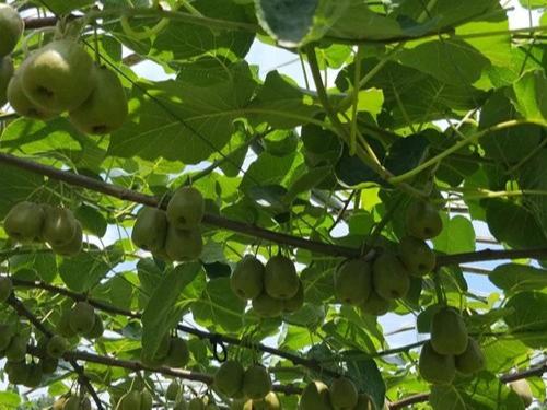 翠力施教您冬季水果种植中应该怎样增强大量元素水溶肥的使用