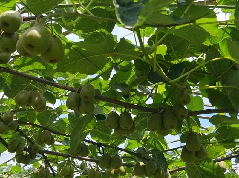 冬季水果种植中应该怎样增强大量元素水溶肥的使用