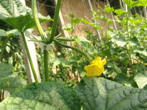 叶面肥厂家哪家好?翠力施是您的好选择