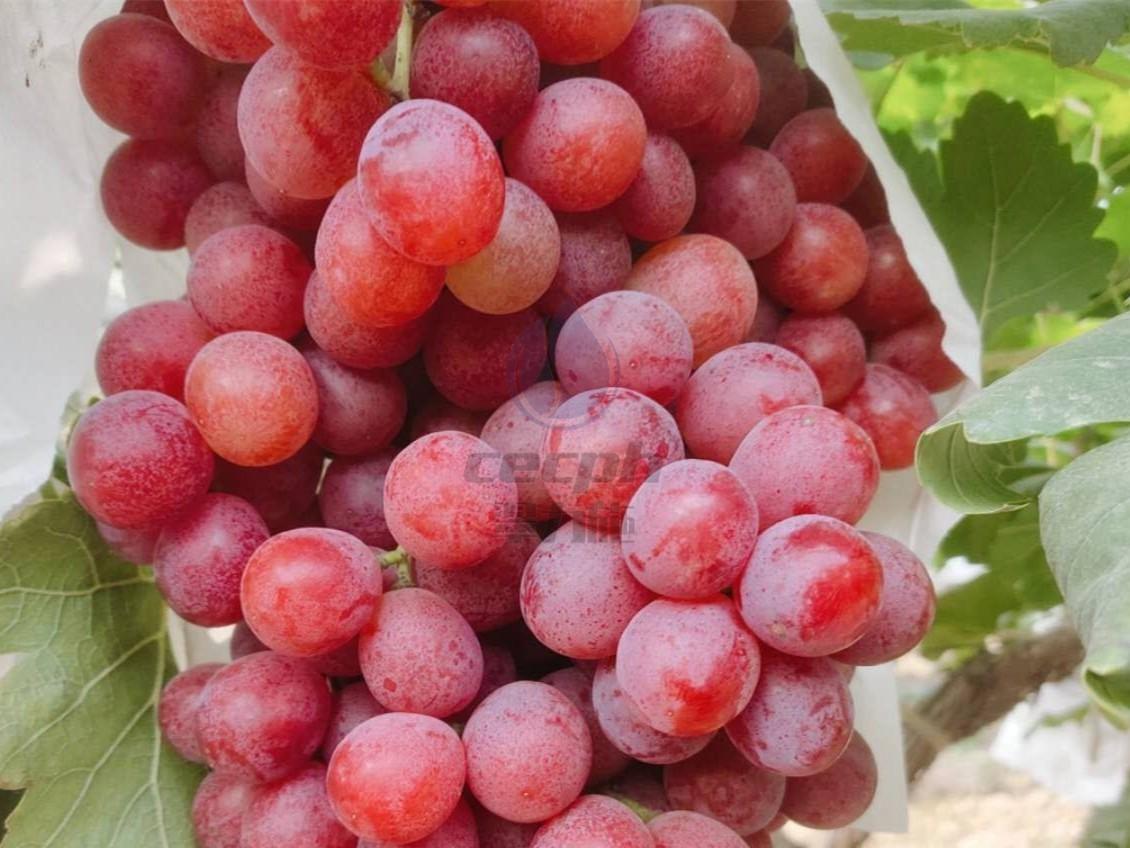 葡萄上什么肥料好?