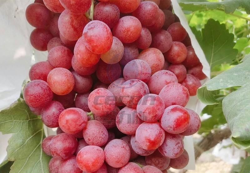 葡萄上什么肥料好-以翠